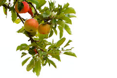 Isolated apple branch. Four apples on a branch isolated against white sky Royalty Free Stock Photos