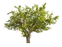 Isolated apple tree with green fruits Stock Photos