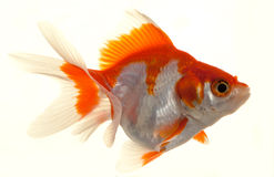 Isolated Approaching Goldfish Royalty Free Stock Images