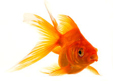 Isolated Approaching Goldfish Royalty Free Stock Photo
