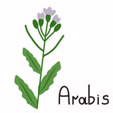 Isolated arabis plant Stock Photography