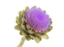 Isolated artichoke at white background Stock Images