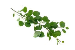 Isolated aspen tree branch. Aspen tree branch with green leaves isolated on white background royalty free stock image