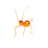 Isolated of assassin bug Royalty Free Stock Images