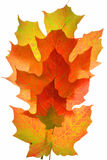 Isolated Atumn maple leaves. THe brilliant natural seasonal color changes of Maple leaves in the Autumn Stock Photo