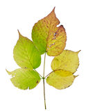 Isolated autumn blackberry leaf Royalty Free Stock Images