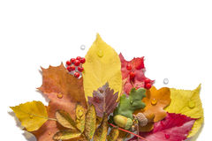 Isolated Autumn Collection. Autumn leaves with nuts, berries and waterdrops on a white background Royalty Free Stock Photography