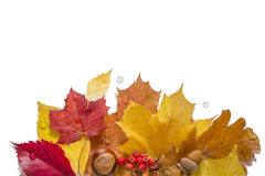 Isolated Autumn Collection. Autumn leaves with nuts, berries and waterdrops on a white background Royalty Free Stock Photos