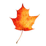 Isolated Autumn Leaf Stock Photo