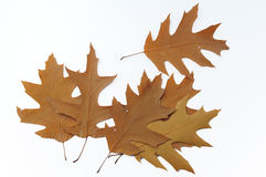 Isolated autumn leafs Stock Photos