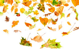 Isolated Autumn Leaves. Autumn leaves falling and spinning isolated on white background Stock Photography