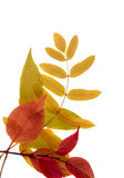 Isolated Autumn Leaves. A border of autumn leaves on white stock photos