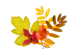 Isolated Autumn Leaves. A border of autumn leaves on white stock image