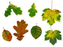 Isolated autumn leaves Stock Images