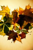 Isolated autumn leaves Royalty Free Stock Photography