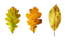 Isolated autumn leaves. Full-size composite photo of various autumn leaves: oak, honeysuckle. Isolated on white background, clipping path included royalty free stock image