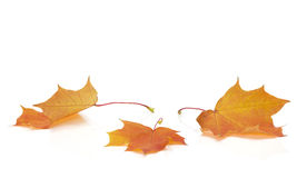 Isolated Autumn Leaves. Autumn colored maple leaves on white background with empty space copy Stock Photos