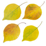 Isolated autumn leaves set. A few isolated bright autumn leaves on white background Royalty Free Stock Photos