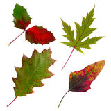 Isolated autumn leaves set. A few isolated bright autumn leaves on white background Stock Images