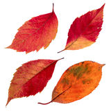 Isolated autumn leaves set. A few isolated bright autumn leaves on white background Stock Photos