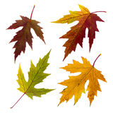 Isolated autumn leaves set. A few isolated bright autumn leaves on white background Royalty Free Stock Image