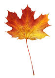 Isolated Autumn Maple Leaf Stock Images