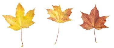 Isolated Autumn maple leafs Stock Photos