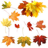 Isolated autumn maple leaves Stock Photos