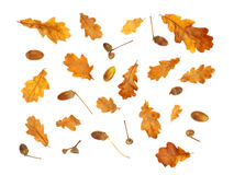 Isolated autumn print with acorn and yellow oak leaves Royalty Free Stock Photos