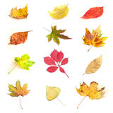 Isolated autumnal leaves of various trees Royalty Free Stock Photos