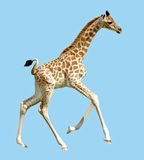 Isolated baby giraffe running. Isolated profile baby giraffe (Camelopardalis) running on blue background stock photos