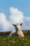 Isolated baby lamb against blue sky Stock Images