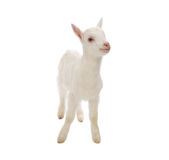 Isolated baby milk goat Royalty Free Stock Photos
