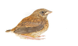 Isolated baby sparrow Stock Photo