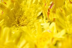 Isolated background of flowers yellow daisy with a yellow core and orange petals stock images