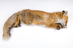 Isolated background fox fur Royalty Free Stock Images