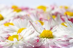 Isolated background with white daisy flowers with a yellow core and pink petals royalty free stock photography