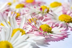 Isolated background with white daisy flowers with a yellow core and pink petals stock photography