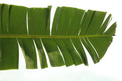 Isolated banana leaf Royalty Free Stock Images