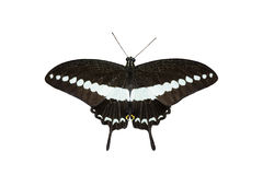 Isolated Banded swallowtail butterfly (Papilio demolion) Stock Images