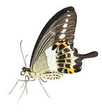 Isolated of banded swallowtail butterfly Papilio demolion on w. Isolated of banded swallowtail butterfly Papilio demolion with clipping path stock photo