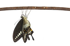 Isolated banded swallowtail butterfly (Papilio demolion) hanging Royalty Free Stock Photos