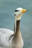 Isolated bar-headed goose Royalty Free Stock Images