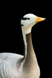 Isolated bar-headed goose Stock Photography