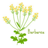 Isolated barbarea plant Stock Images