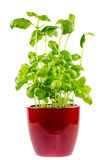 Isolated basil plant in a ceramic pot Royalty Free Stock Photography