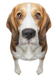 Isolated Beagle dog. Looking straight at you with big puppy eyes. Additional format attached as a PNG on a transparent layer