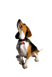 Isolated Beagle Dog. A cute purebred beagle isolated over white Royalty Free Stock Photography