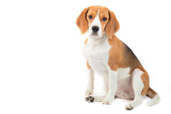 Isolated beagle dog portrait. Tree color Beagle Dog is sitting and watching Royalty Free Stock Image