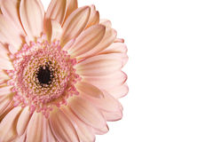 Isolated beautiful gerbera flower Stock Image